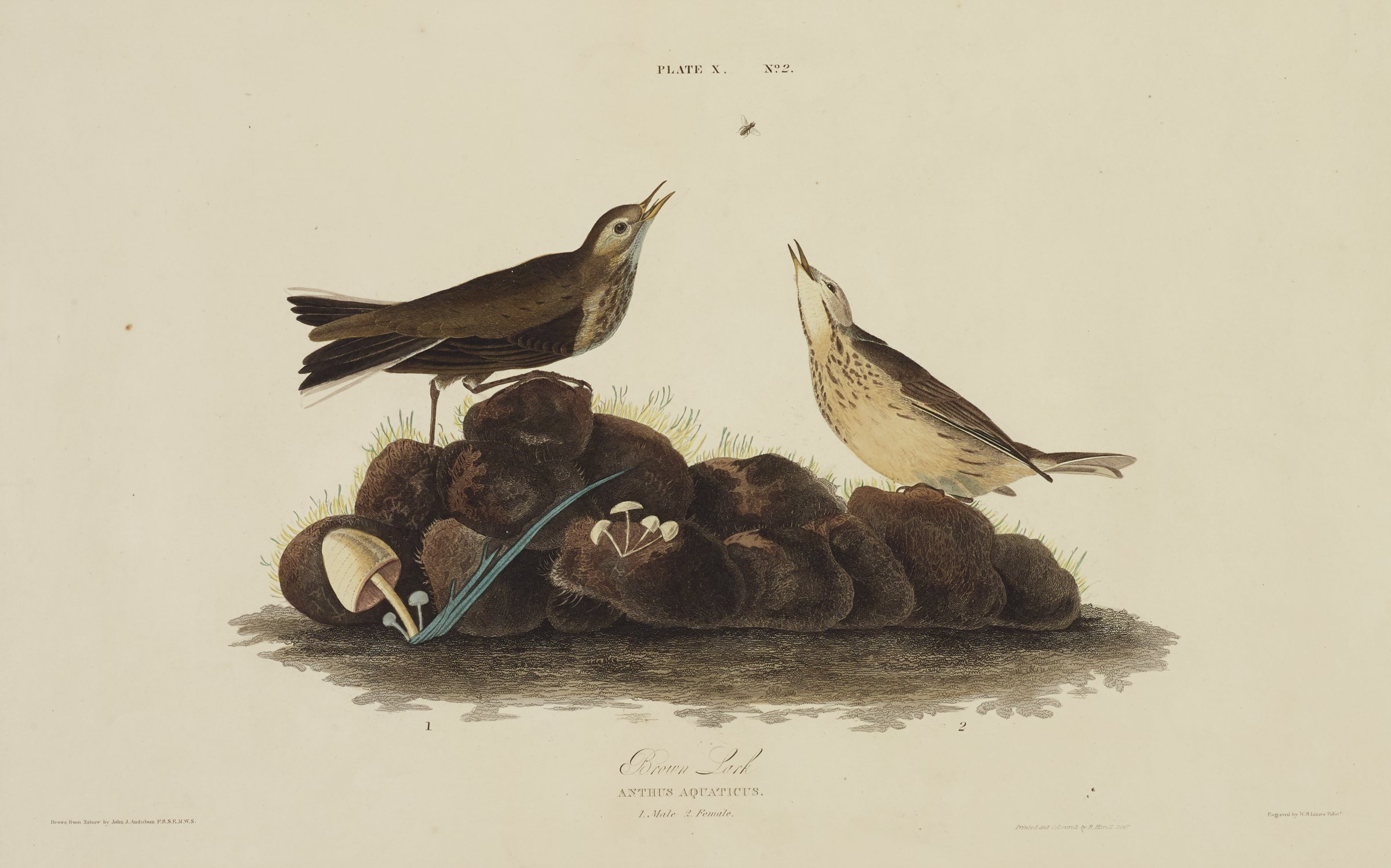 Two birds stand on a pile of dark rocks that sprout mushrooms. The birds look upwards with open beaks to an insect flying above them. Both birds are covered primarily in black and cream feathers and characterized by their black speckled chests.
