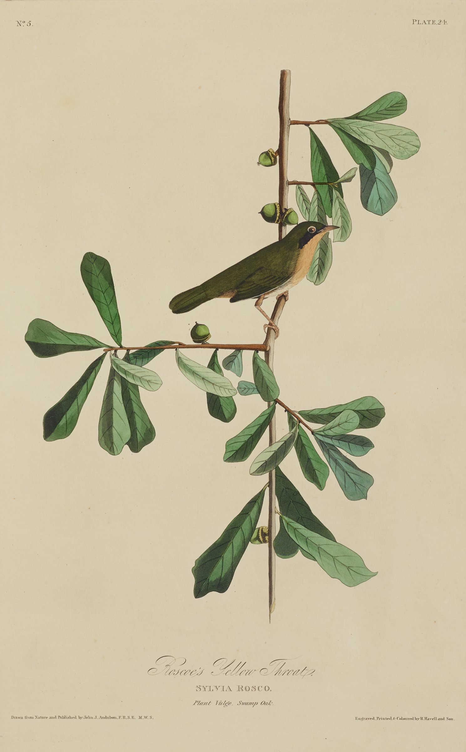 A bird characterized by black feathers on its back, yellow feathers on its chest, and white feathers on its stomach stands on a branch containing oblong leaves and green acorns.