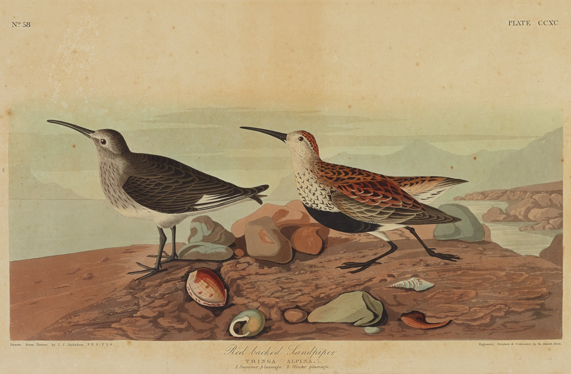 Two birds with long beaks and spotted patterns on their feathers stand on the shoreline of a beach. The ground is scattered with rocks and seashells. In the background are faint impressions of mountains.