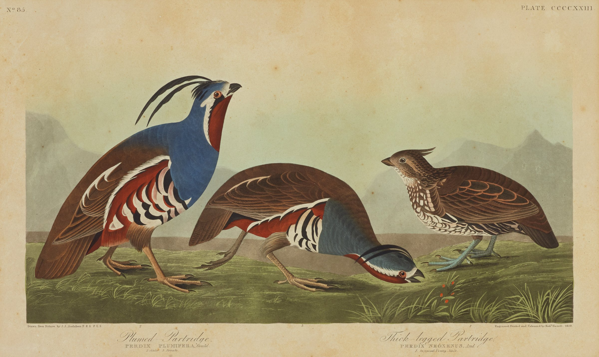 Three partridges are depicted in profile. They stand on ground that is scattered with patches of grass. In the background are faint impressions of mountains. The two larger partridges on the left contain blue, dark red, brown, and white feathers on their body. Their stomachs mimic a striped pattern in black and white. Two long feathers grow from the partridges' heads and drape backwards nearly touching their backs. The third partridge on the right contains a brown feathered topside and an underside mixed with brown and white feathers. Two short black feathers grow outwards from the partridge's head.