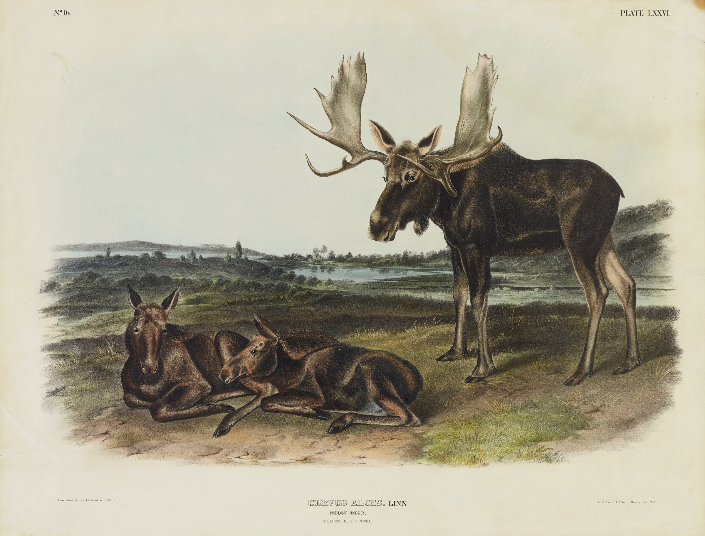 A moose with large, broad antlers stands to the right of two young moose that lay near him. They are set on a grassy field with a body of water in the background.