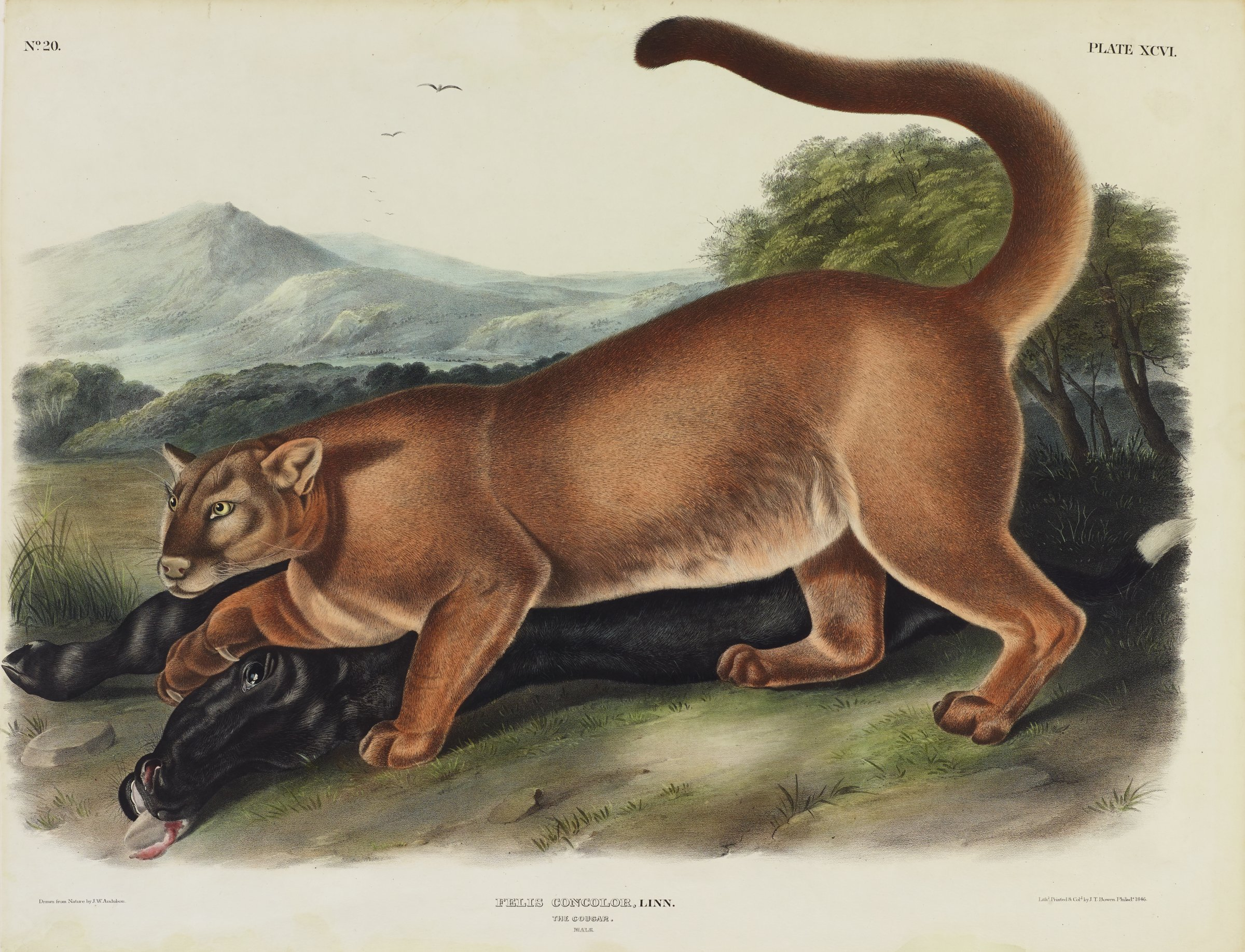 A large brown cougar crouches over a black calf that he has killed. The cougar's front right paw is placed on the calf's neck as he looks forward and alert. The animals are set in a grassy field with nearby greenery. Mountains populate the background, and two birds fly overhead.