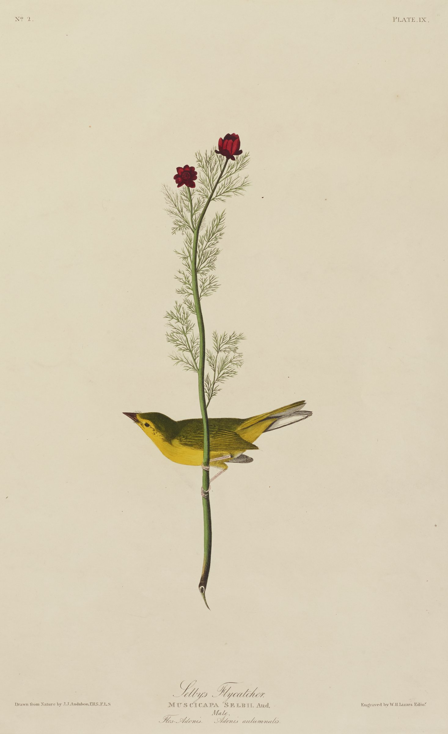 A bird with a black topside and beak, yellow underside, and white tail holds onto a vertically oriented tree branch that blooms with two dark red flowers.