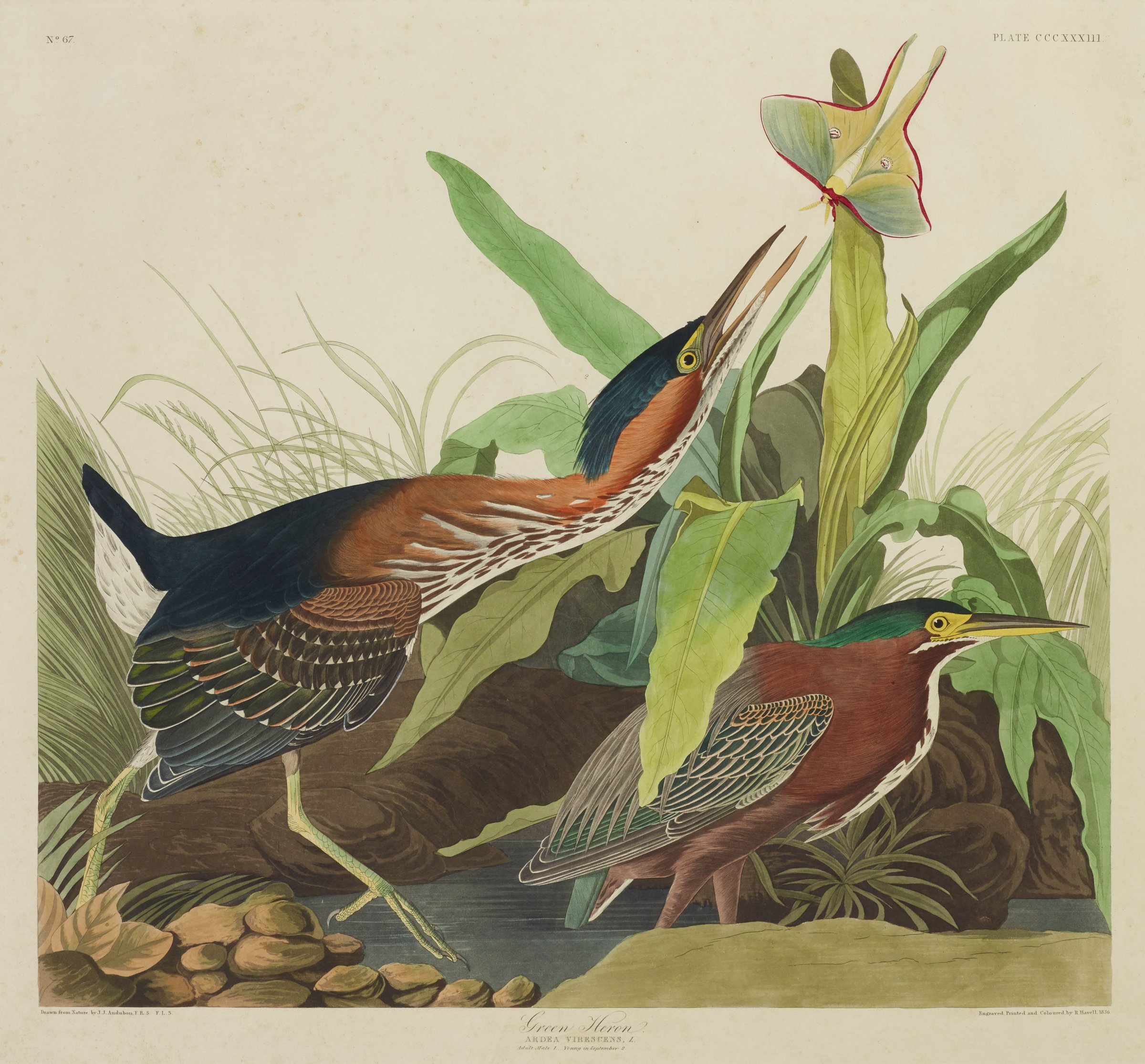 In a landscape of water, rocks, and thick foliage, two herons attempt to catch a moth that flies above them. The herons are characterized by their brown, black, and white feathered bodies with yellow feathers around their eyes, dark green feathers on their heads, and long, pointed beaks. The heron on the left is also characterized by his body shape with an elongated neck and large talons.