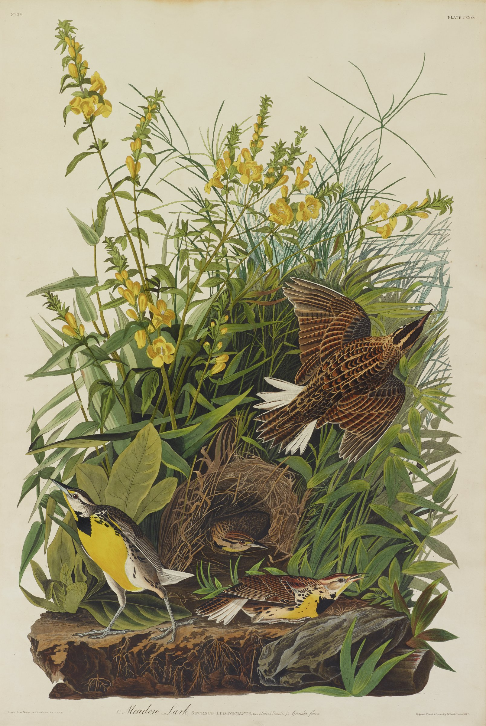 Amongst dense foliage that blooms with tall stalks containing yellow flowers are four birds with brown, black and white topsides and yellow undersides. The four birds are seen in various motions. One is flying upwards, two are on the ground, and one peaks its head out from a nest, which is nestled into the foliage.