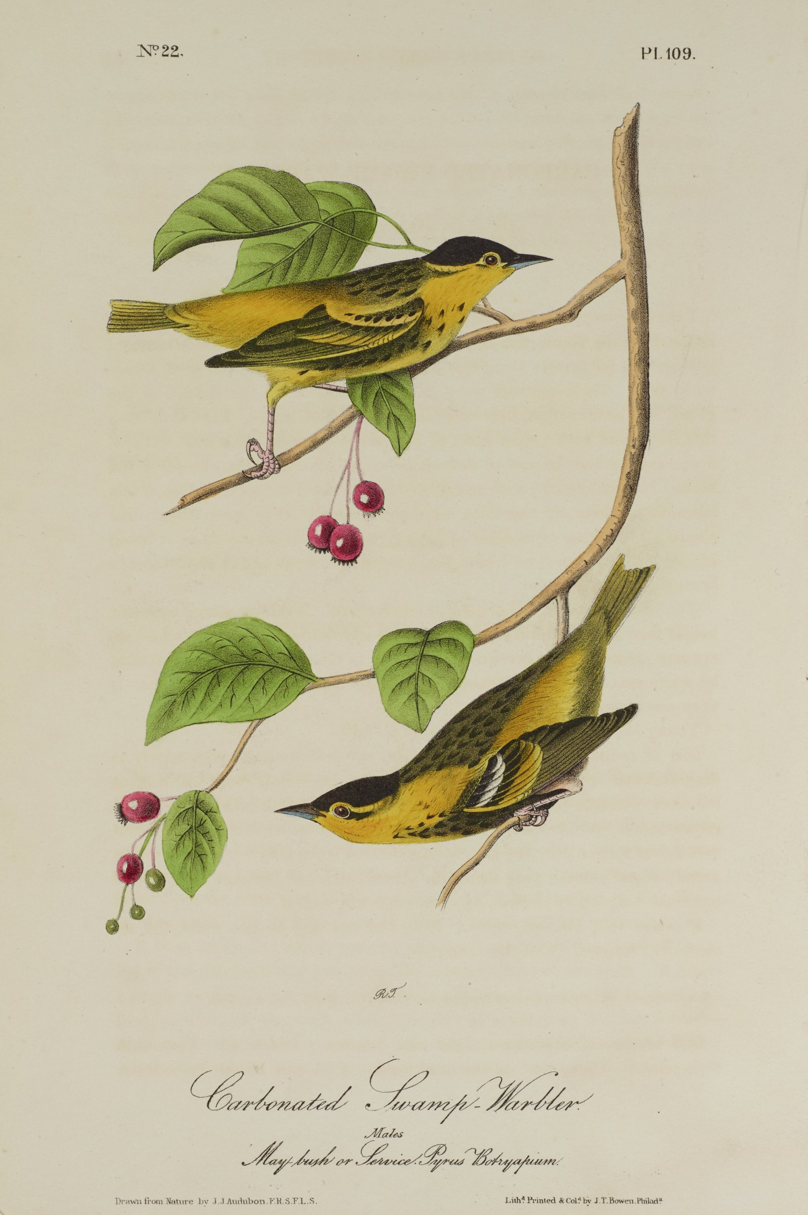 Two birds are depicted perched on a tree branch with red and green buds. The birds are primarily covered in yellow and black feathers. The lower bird has a white stripe on its wings.