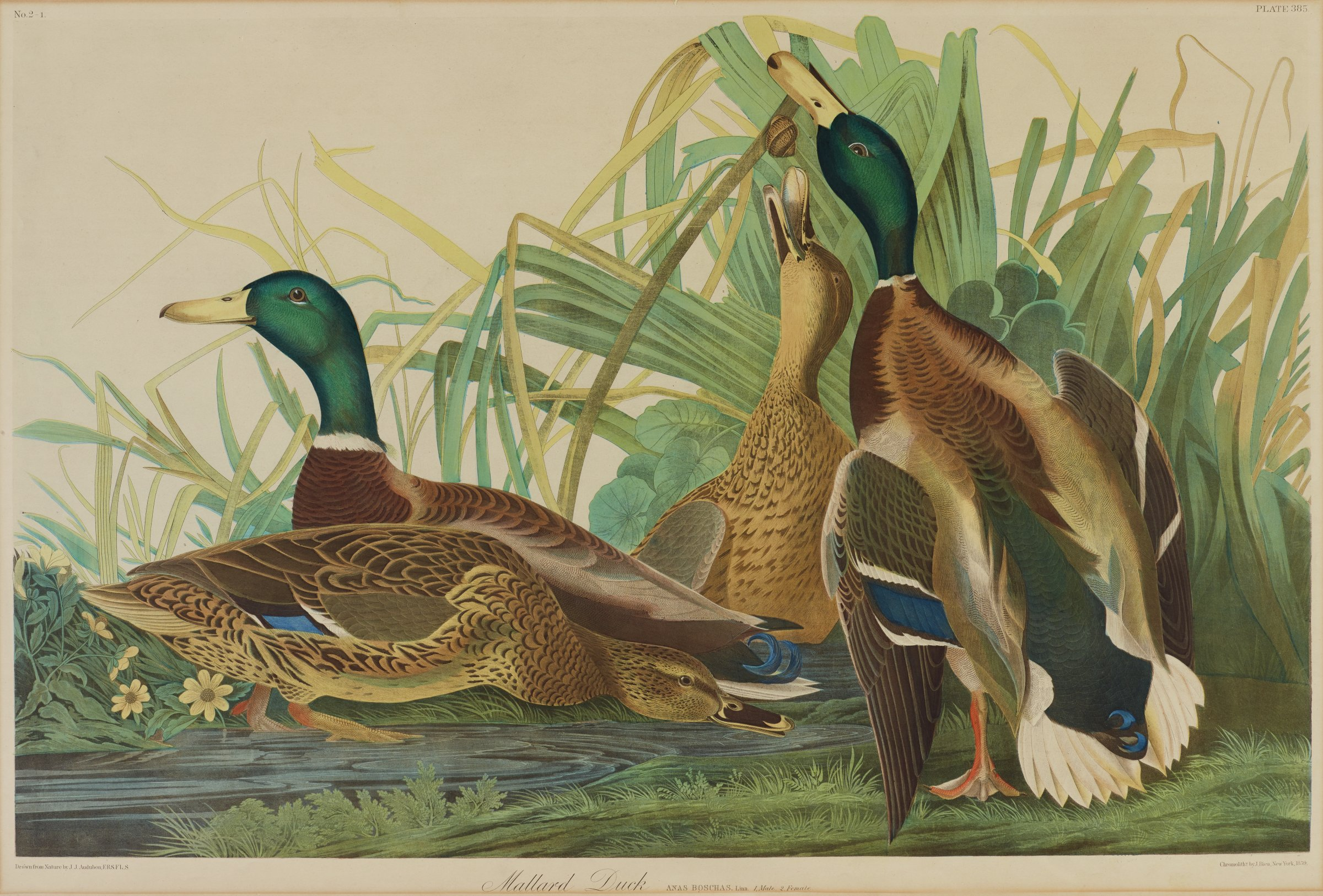 Four ducks are depicted in various stages of movements on the edge of a body of water that is surrounded by thick foliage. The ducks are characterized by brown, dark brown, and white feathering with royal blue accents on their wings and tails. The two larger ducks have dark green heads and a white band around their necks.