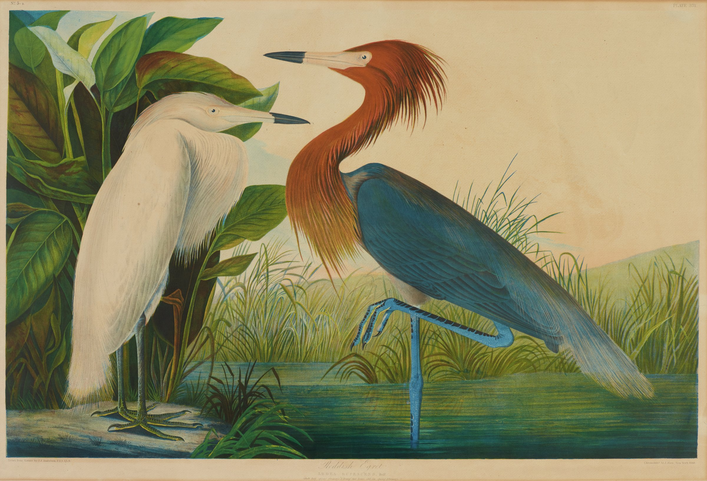 Two egrets are depicted in a marshy landscape. A white egret is shown on the left standing on the bank. A red and blue feathered egret balances on one foot in the water.